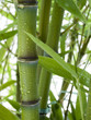 Bambus 03