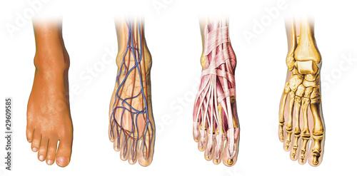 Fotografía  Human foot anatomy cross sections