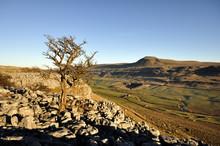 Lone Tree On Limestone Opposite Ingleborough