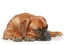 German Boxer Puppy Sleeping On A White Background