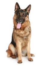 German Shepherd Dog Sitting On...