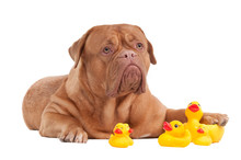 Dogue De Bordeaux Puppy Playing With Rubber Yellow Ducks