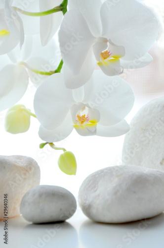biala-orchidea