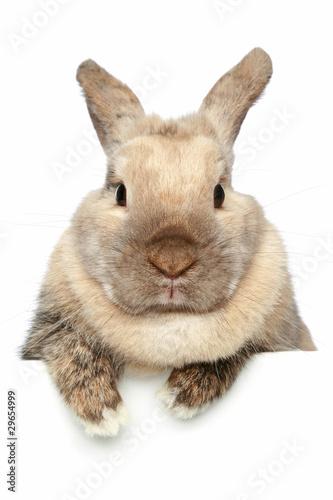 Fotografie, Obraz  Rabbit. Close-up portrait on a white background