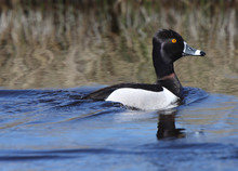 Ring Necked Duck In Roadside Ditch