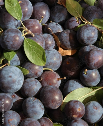 Fototapeta Little blue plums, native to New Mexico obraz na płótnie