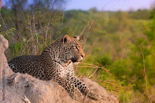 Poster Leopard african leopard