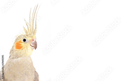 Valokuva  Cockatiel