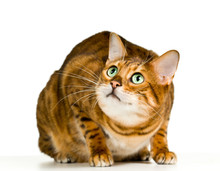 Cute Bengal Kitten In Crouch A...