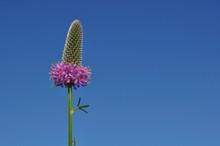 Purple Prairie Clover (Dalea Purpurea) Wildflower