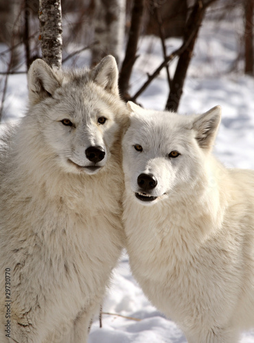 Photo  Arctic Wolves close together in winter