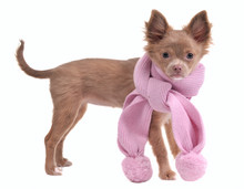 Glamorous Chihuahua Puppy With Romantic Pink Scarf Isolated