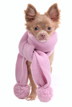 Elegant Chihuahua Puppy Dressed Pink Scarf With Two Pompoms