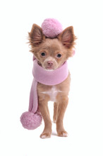 Glamorous Chihuahua Puppy With Pink Scarf With Pompoms