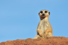 Single Meerkat With Blue Sky