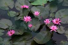 Cluster Of Pink Lotus