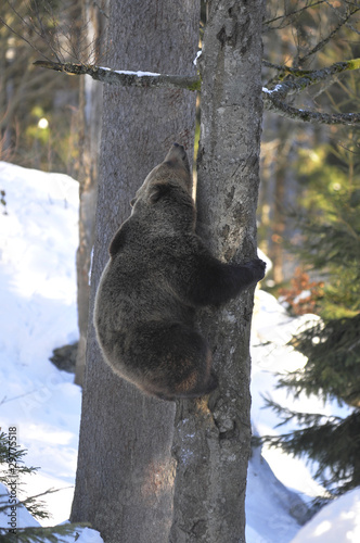 Foto op Plexiglas Alpinisme Bär klettert