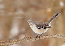 Northern Mockingbird, Mimus Po...