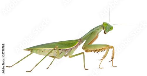 Fototapeta  Female Praying Mantis, Rhombodera Basalis