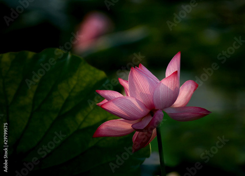 Foto op Aluminium Lotusbloem 怒放