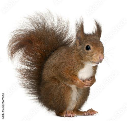 Fotografía  Eurasian red squirrel, Sciurus vulgaris, 4 years old