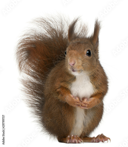 Fotobehang Eekhoorn Eurasian red squirrel, Sciurus vulgaris, 4 years old