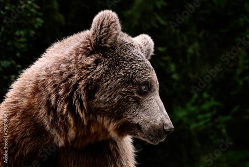 Fotografie, Obraz  Cabeza de oso