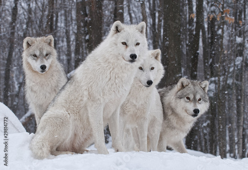 Photo sur Toile Photo du jour Arctic Wolf Pack