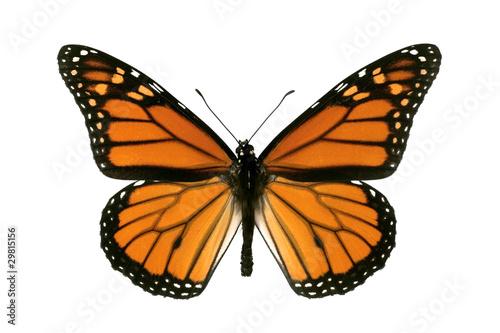 Obraz na plátne Butterfly, Monarch, Milkweed, Wanderer, Danaus plexippus, male,