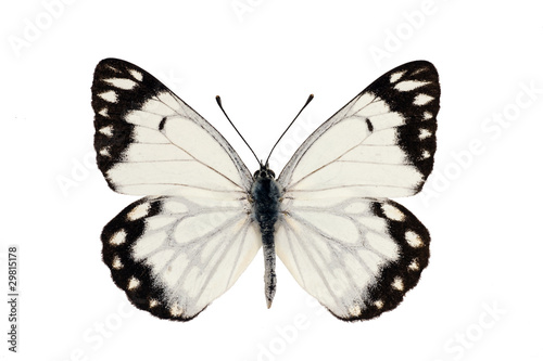 Photo  Butterfly, Caper White, Caper Gull, Pale form, Belenois java, ma