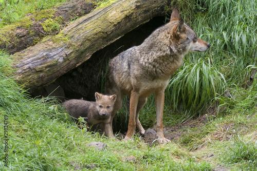 Cuadros en Lienzo Wölfin mit ihren Welpen