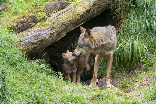 Wölfin mit ihren Welpen Fototapet