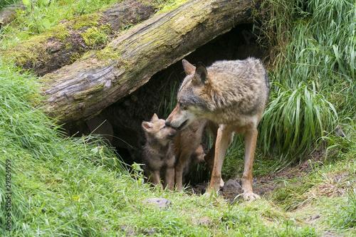 Wölfin mit ihren Welpen Tapéta, Fotótapéta