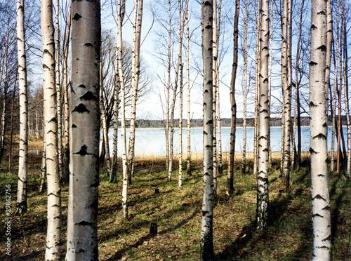 Spoed Fotobehang Berkbosje Birch trees