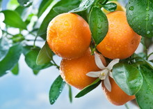 Ripe Tangerines On A Tree Bran...
