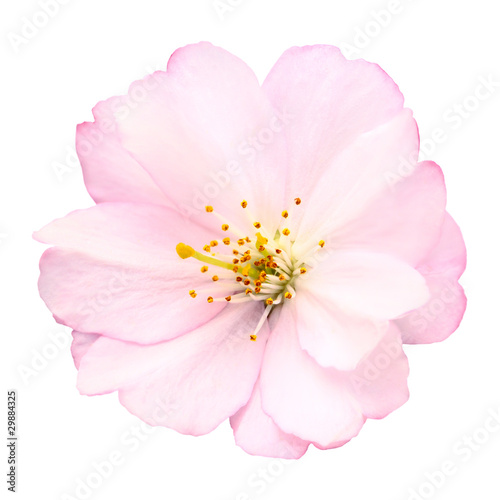 Cadres-photo bureau Fleur de cerisier Freigestellte Nahaufnahme einer Kirschblüte