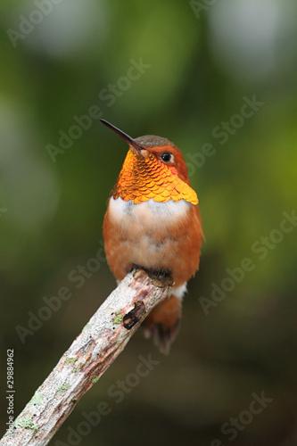 Sticker - Rufous Hummingbird (Selasphorus rufus)