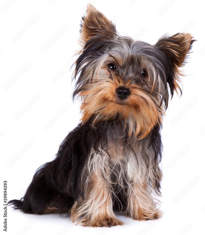 Fototapety, obrazy: Yorkshire terrier