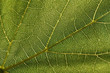Grape leaf texture
