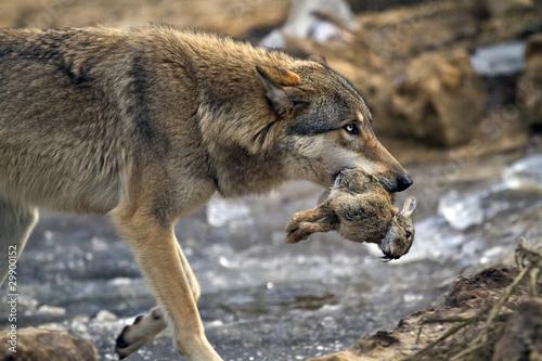 Wolf Fototapet