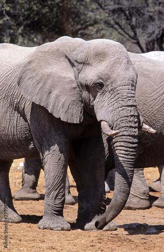 Photo African Elephant, Etosha, Namib