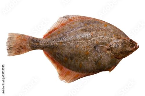 Flounder Canvas Print