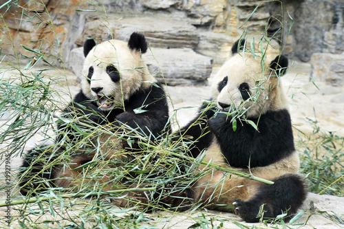 Panda Bears in Beijing China Wallpaper Mural