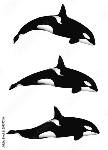 Fotografie, Obraz  Orca Whale