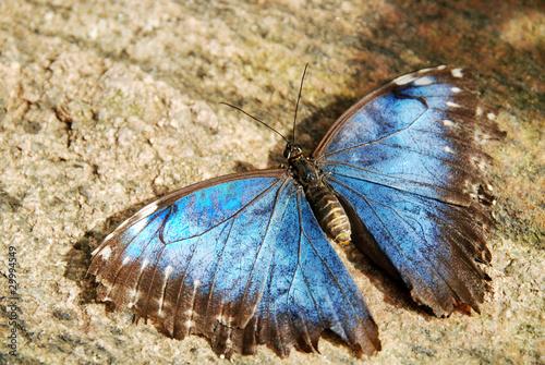 Foto op Plexiglas Stenen in het Zand Blue butterfly