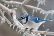 Blue jay on ice covered branches