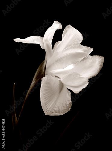 Poster Iris iris black and white