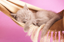 British Kitten Sleeping  In A Hammock