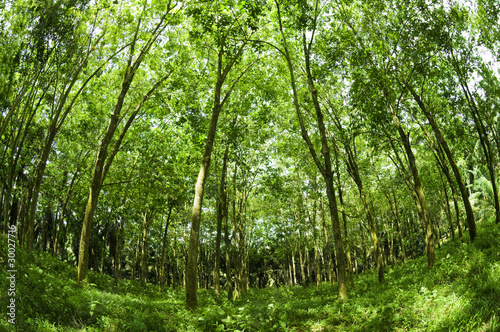 Wall Murals Forest Rubber Plantation