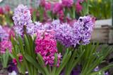 jacinthes violettes et roses